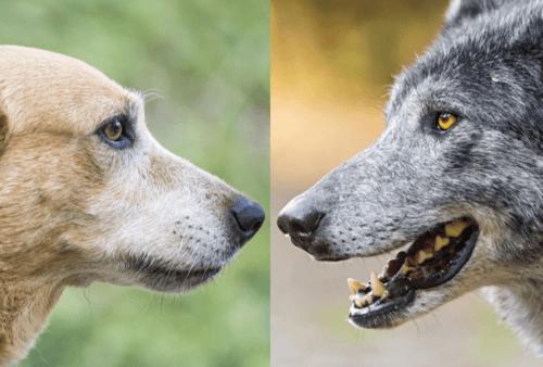 Dog Vs Wolf
