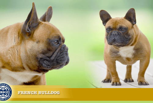 The French Bulldog